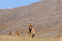 Przewalskii´s Horse Equus ferus przewalskii, stall