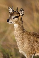 portrait of a Klipspringer Oreotragus oreotragus in evening light, Serengeti National Park, Tanzania