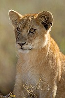 portrait of a Lion cub Panthera leo, Serengeti National Park, Tanzania