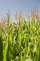 Close Up Of Corn Stocks In A Field With Blue Sky, Alberta Canada