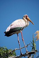 Yellow Billed Stork, Mycteria ibis, Chobe River, Chobe National Park, Botswana, Africa