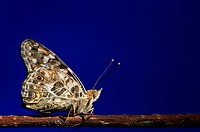 Painted lady butterfly on a branch against a deep blue background, st. albert alberta canada
