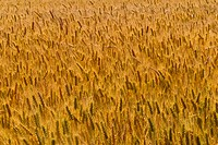 Field of wheat, summer.