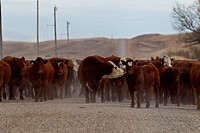 Late fall cattle being driven to their winter quarters in valley.