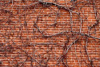 Bare vine across brick wall.