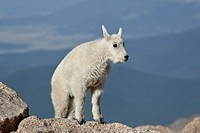 Mountain goat Oreamnos americanus kid, Mount Evans, Arapaho_Roosevelt National Forest, Colorado, United States of America, North America