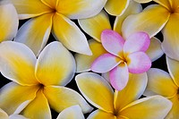 Plumeria flowers in bloom