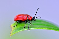 The scarlet lily beetle Lilioceris lilii, or red / leaf lily beetle, Crete