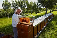 Beekeeper with honey yield in summer,