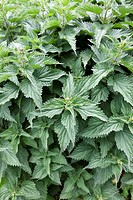 Fresh Nettles