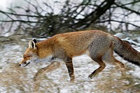 Red fox Vulpes vulpes hunting in thicket along forest edge in the snow in winter