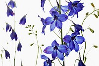 Delphinium ´Blue Bees´, Delphinium, Blue subject, White background.
