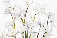 Camassia leichtlinii alba, Camassia, Quamash, White subject, White background.