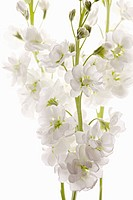 Matthiola cultivar, Stock, White subject, White background.