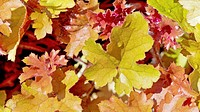 Heuchera ´Marmalade´, Coral bells, Mixed colours subject.