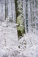 Snow and moss covered tree trunk