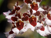 Tolumnia Oncidium brown white orchid flower