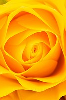 Yellow rose background