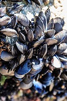 Mussels Mytilus sp. on rocks at low tide. Photographed in Cornwall, UK.