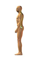 Normal spinal posture. Artwork of a man standing in an upright posture with normal spinal alignment. The bones vertebrae of the spine are shown, formi...