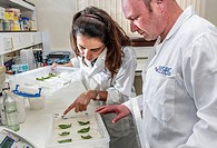 Plant research. Plant geneticists examining leaves during plant breeding research.