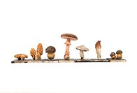Mushrooms, historical model. 1880 papier mache models of different types of mushrooms.