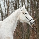Hannover horse
