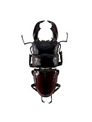 Stag beetle. View of the upper side of a stag beetle Eurytrachelus titanus, showing its large mandibles jaws. This species of stag beetle is found in ...