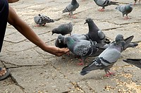 Man feeding grams to pigeons at Gateway of India , Chatrapati Shivaji Udyan , Apollo Bunder , Bombay Mumbai , Maharashtra , India , Asia