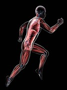 Sprinter. Computer artwork of a sprinter with their muscles highlighted