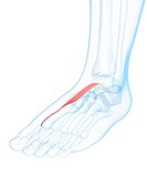 Foot muscle. Computer artwork of the extensor hallucis brevis muscle of the foot.