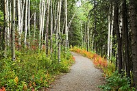 Denali National Park, Alaska, USA: trail through quaking aspen Populus tremuloides and spruce trees, fireweed, near visitor center, late August