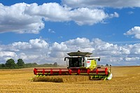 Combine harvester harvesting cereals on cornfield in summer