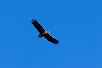 White_tailed Eagle / Sea Eagle / Erne Haliaeetus albicilla in flight