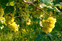 Healthy fruit , Grapes or angoor hanging , Sangli , Maharashtra , India