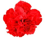 One a red carnation