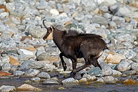 Chamois Rupicapra rupicapra at mountain stream, Gran Paradiso National Park, Italian Alps, Italy