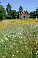 Old wooden barn in a flowering meadow in spring. Haernoesand, Vaesternorrland, Sweden, Scandinavia, Europe