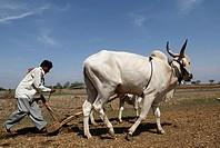 Man ploughing agricultural land ; Marathwada ; Maharashtra ; India