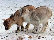 Zwei Zwergziegenkinder im winterlichen Tierpark Sababurg