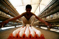 A poultry worker collecting eggs laid by hens at the poultry farm in Sangli ; Maharashtra ; India