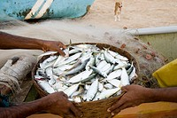 Basket full of fresh fishes at vengurla beach , district Sindhudurga , Maharashtra , India