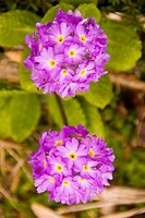Primula flower ; Yumthan ; Sikkim ; India