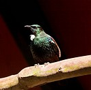 Endemic New Zealand Bird Tui