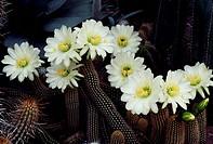 Flowering Trichocereus lobivioides, Cactaceae.