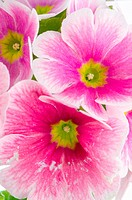 Closeup of pink primrose flowers