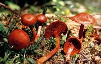 Cortinarius sanguineus, Cortinariaceae.