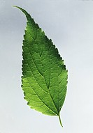 Hackberry leaf with a caudate apex (Celtis australis), Ulmaceae.