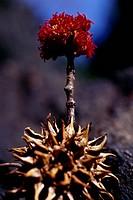 Flower of Red Maple or Swamp (Acer rubrum), Aceraceae-Sapindaceae.