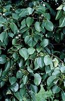 Neapolitan Alder foliage (Alnus cordata), Betulaceae.